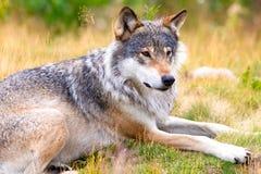 Grote mannelijke grijze wolf die op een gebied in het bos leggen stock foto