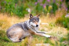 Grote mannelijke grijze wolf die op een gebied in het bos leggen stock afbeeldingen