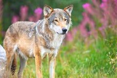 Grote mannelijke grijze wolf die zich op een gebied in het bos bevinden royalty-vrije stock fotografie