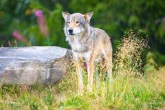 Grote mannelijke grijze wolf die zich op een gebied in het bos bevinden stock afbeelding