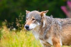 Grote mannelijke grijze wolf die zich op een gebied in het bos bevinden royalty-vrije stock foto