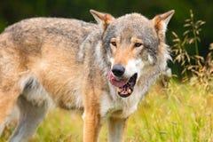 Grote mannelijke grijze wolf die zich op een gebied in het bos bevinden stock fotografie