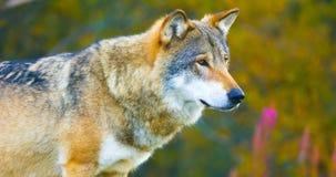 Grote mannelijke grijze wolf in het de herfst gekleurde bos stock fotografie