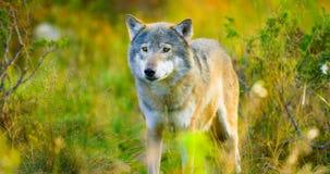 Grote mannelijke grijze wolf op de herfst gekleurd gebied in het bos stock afbeelding