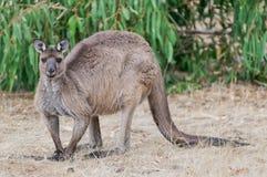 Grote mannelijke kangoeroe op het Eiland van de Kangoeroe Stock Foto