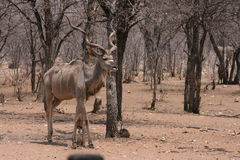 Grote Mannelijke Kudu Royalty-vrije Stock Afbeelding