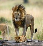 Grote mannelijke leeuw met welp Nationaal Park kenia tanzania Masai Mara serengeti Stock Fotografie
