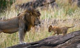 Grote mannelijke leeuw met welp Nationaal Park kenia tanzania Masai Mara serengeti stock foto