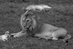 Grote mannelijke Leeuw in Serengeti Stock Foto's