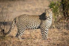 Grote mannelijke luipaard met mooie ogen royalty-vrije stock fotografie