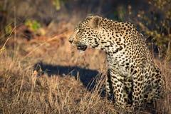 Grote mannelijke luipaardzitting royalty-vrije stock foto