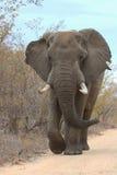 Grote mannelijke olifant Stock Foto
