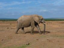 Grote mannelijke olifant met slagtand Stock Foto's
