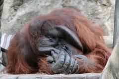 Grote mannelijke orangoetan stock afbeelding