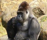 Grote mannelijke silverbackgorilla Royalty-vrije Stock Fotografie