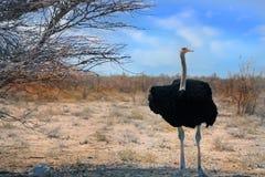 Grote Mannelijke Struisvogel die zich op de Vlaktes in Etosha bevinden Royalty-vrije Stock Fotografie