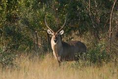 Grote mannelijke Waterbuck Stock Afbeeldingen
