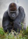 Grote mannelijke zilveren achtergorilla die (de gorilla van de gorillagorilla) vegetatie eten Stock Afbeeldingen