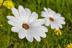 Grote margriet wildflower stock fotografie