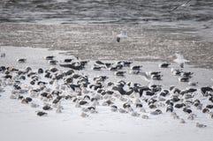 Grote Meeuwen Met zwarte rug en Haringenmeeuwen die op een ijzige kust in Canada rusten stock afbeelding