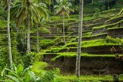 Grote mening van Padievelden, Ubud, Bali Stock Afbeeldingen
