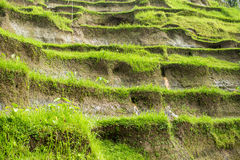 Grote mening van Padievelden, Ubud, Bali Royalty-vrije Stock Foto