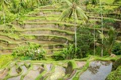 Grote mening van Padievelden, Ubud, Bali Royalty-vrije Stock Afbeelding