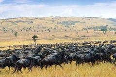 Grote migratie, het Afrikaanse wild Afrika, Kenia stock foto