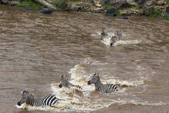 Grote migratie in Kenia Zebras van Masai mara aan Serengeti, Afrika Royalty-vrije Stock Afbeeldingen