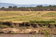 Grote migratie Kudden op de kusten van Mara River Kenia, Afrika Royalty-vrije Stock Afbeelding
