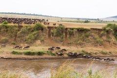 Grote migratie Landschap op Mara River met grote kudden van meest wildebeest Kenia stock foto's