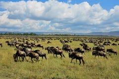 Grote migratie in Masai Mara stock afbeeldingen