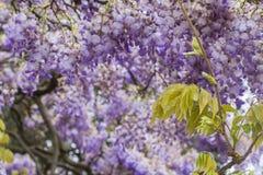 Grote mooie boom als achtergrond van purpere wisteriabloesems stock afbeeldingen