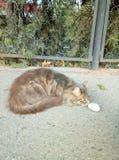 Grote mooie grijze kattenzitting op de straat stock fotografie