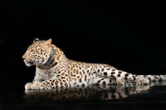 Grote mooie luipaard Royalty-vrije Stock Foto