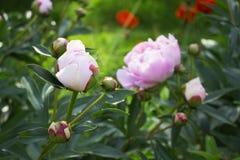 Grote mooie roze bloem van tuinpioen Royalty-vrije Stock Afbeeldingen