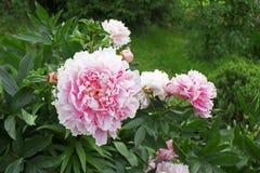 Grote mooie roze bloem van tuinpioen Stock Foto