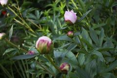 Grote mooie roze knop van tuinpioen Royalty-vrije Stock Afbeelding