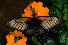 Grote Mormoonse tropische vlinder Royalty-vrije Stock Afbeeldingen