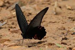 Grote Mormoonse vlinder en een bij stock afbeelding