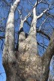 Grote naakte boom in Arboretum Stock Afbeelding
