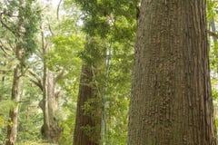 Grote naaldbomen royalty-vrije stock foto