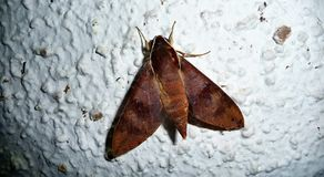 Grote Nachtvlieg op de muur in Franse Polynesia stock fotografie
