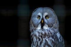 Grote nebulosa van Grey Owl of Strix-op dichte tak stock foto's