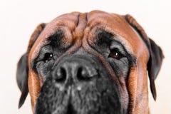 Grote neus en ogen van hond Royalty-vrije Stock Fotografie