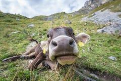 Grote neus van geëtiketteerde jonge koe Stock Foto's