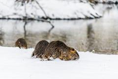 Grote nieuwsgierige coypunutria op de sneeuw dichtbij de rivier stock fotografie
