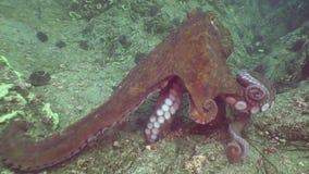 Grote octopus in de steenzeebedding op zoek naar voedsel stock footage