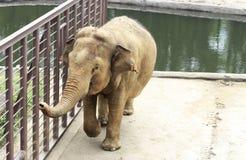 Grote olifant bij de dierentuin door het poolclose-up stock afbeeldingen