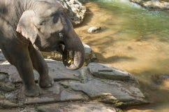 Grote olifant die banaan eten bij de rots naast de rivier Royalty-vrije Stock Fotografie